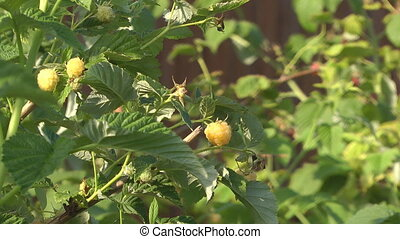 Yellow raspberry.