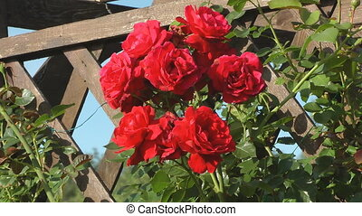 Red roses - Closeup shot of beauty red roses