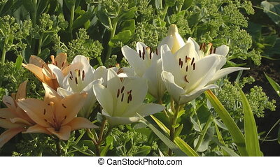 Lily. - HD 1080 closeup shot of beauty white lily.