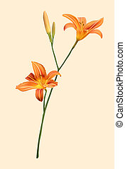 A orange lily on freshness