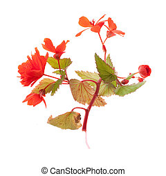 red begonias twig isolated on white background