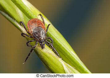 Tick on a plant straw - Closeup of a tick on a plant straw