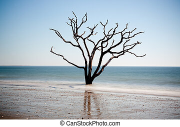 Dead live oak trees on beach - Love Oak tree, dead in the...