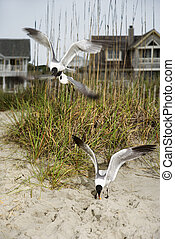 Seagulls swooping onto beach. - Seagulls swooping down onto...