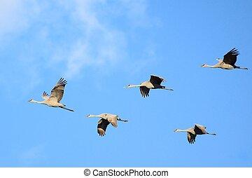 Sandhill Cranes in Flight - Sandhill Cranes (Grus...