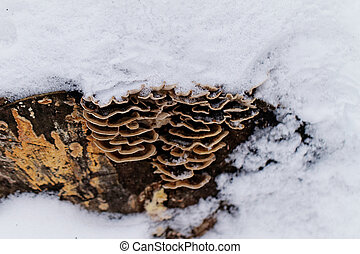 tinder fungus on the trunk of a snowy tree