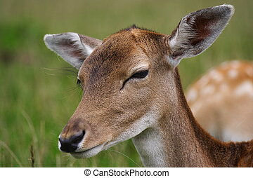 Young deer closeup - Young deer fawn closeup from Jutland,...