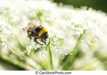 Closeup of bumblebee on cow parsley - Closeup of black and...