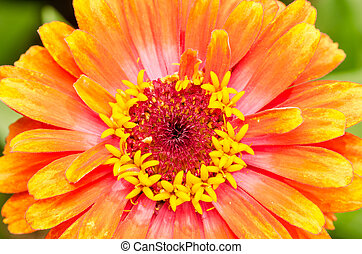 Orange Zinnia Elegans Close Up