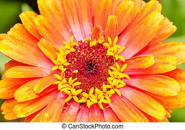 Orange Zinnia Elegans Close Up