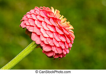 Pink Zinnia Elegans Close Up