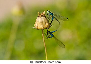 Dragonfly Mating Macro Close Up Photo
