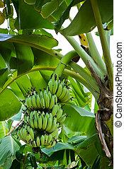 Banana tree with fruit