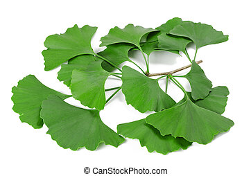 Ginkgo biloba branch isolated on white