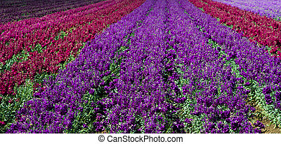 Rows of red and purple snap dragons in  a field