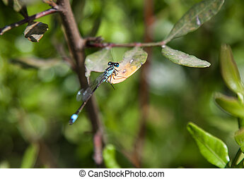 Damsel Fly at rest - Blue tailed damsel fly at rest
