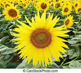 sunflowers at field