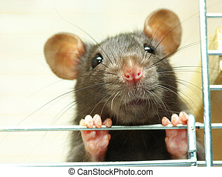 funny  rat  - funny black rat sits in cage