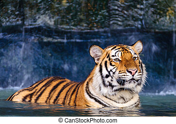 Tiger in the water - Orange and black striped tiger in the...