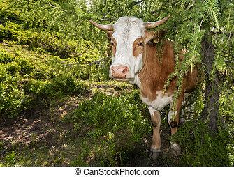 Kuh unter Baum - Kuh auf der Alm sucht sich ein schattiiges...