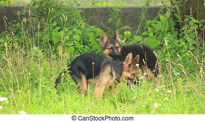 Dogs playing in grass - young German Shepherd dog play in...