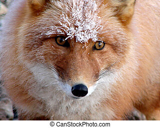 red fox - 2009 on April, 21st, Russia, Chukchi Autonomous...