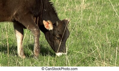 Calf on a meadow - Calf grazing on a green spring meadow