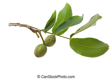 green walnut on twig isolated on white background