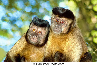 Capuchin monkey pair - A Capuchin monkey pair sit in their...
