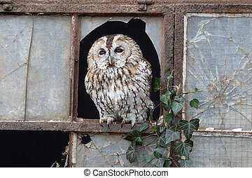 Tawny owl, Strix aluco, single bird in old iron and glass...