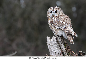 Tawny owl, Strix aluco, single bird on stump, captive bird...
