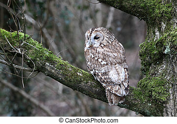 Tawny owl, Strix aluco, single bird on branch, captive bird...