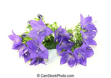 bellflower - a purple bellflower on white background