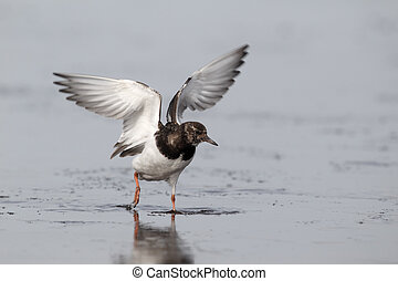 Turnstone, Arenaria interpres, Single bird hovering above...