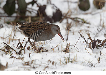 Water rail, Rallus aquaticus, single bird in snow, West...