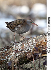 Water rail, Rallus aquaticus, single bird on log, West...