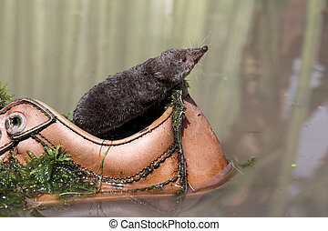 Water shrew, Neomys fodiens, single shrew in old shoe dumped...