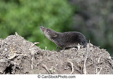 Water shrew, Neomys fodiens, single shrew on ground,...