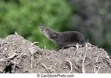 Water shrew, Neomys fodiens, single shrew on ground,...