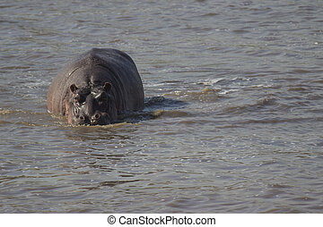 Hippo Eye Contact - A hippo in a dam, making eye contact