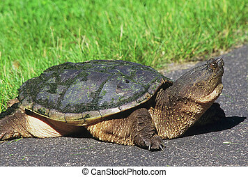 Large Snapping Turtle - Spring portrait of a large snapping...