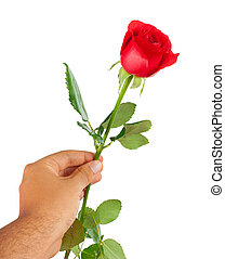 Red rose in a male hand on white background