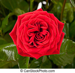 One red rose isolated on a background of green leaves
