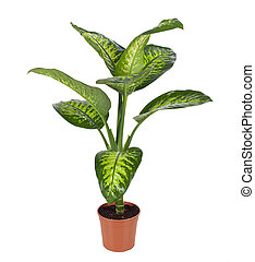 Dieffenbachia - Beautiful Dieffenbachia in flowerpot...