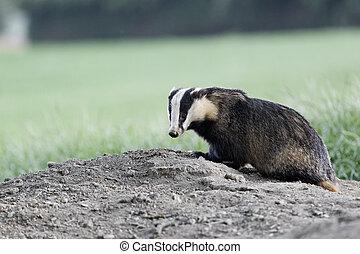Badger, Meles meles, single mammal at dusk, Wales, May 2011