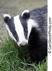 Badger, Meles meles, single animal head shot, Captive, July...