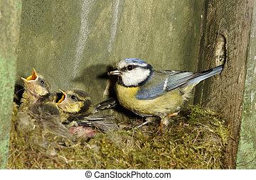 Blue tit, Parus caeruleus, single adult inside nest box with...