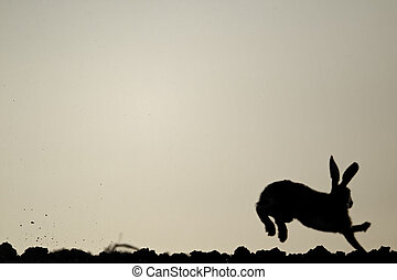 Brown hare, Lepus europaeus, single mammal running,...