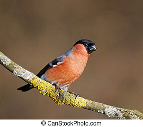 Bullfinch, Pyrrhula pyrrhula, single male on branch, West...