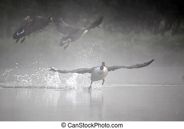 Canada goose, Branta canadensis, three birds taking off from...